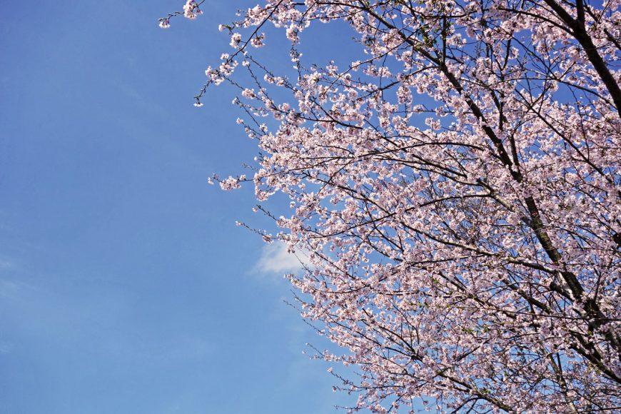 Les fameux cerisiers